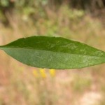 The simple stem leaf of Sky Blue Aster (Aster oolentangiensis)