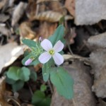 Cardamine douglassii, like all mustards, has a cruciform corolla.