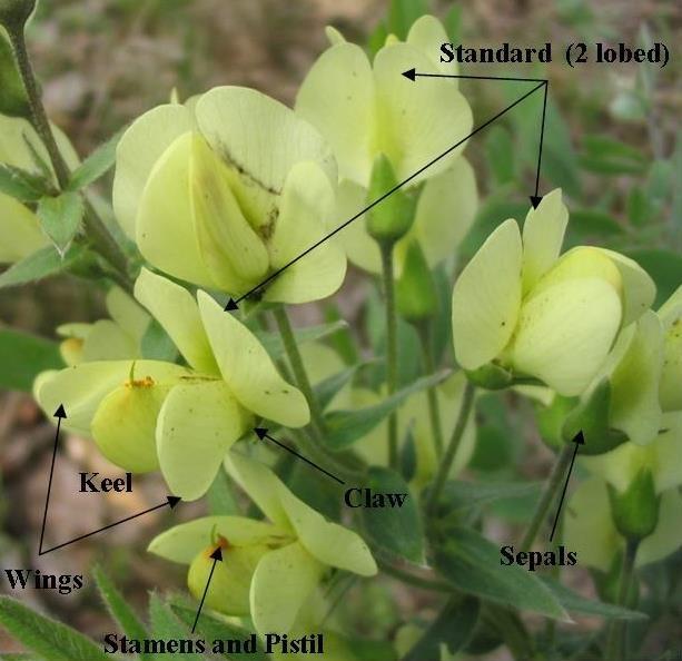 Cream Wild Indigo (Baptisia bracteata var. leucophaea)