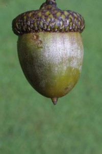 Nut (acorn) of northern red oak (Quercus rubra). © Steven J. Baskauf, http://bioimages.vanderbilt.edu/.