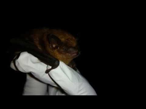 Emergence Surveys for Bats