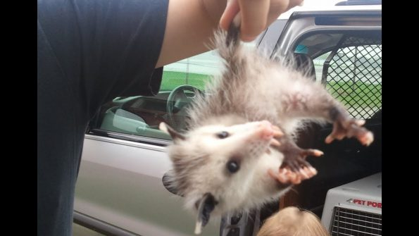 Oh-Awesome Opossum